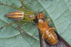 Araña del lince con la presa Fotografía de archivo libre de regalías
