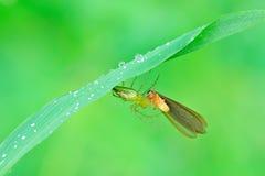 Araña del lince con la presa Fotografía de archivo
