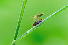 Araña del lince con pery Foto de archivo libre de regalías