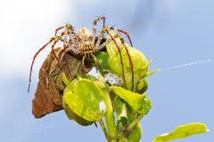 Araña del lince de Madagascan Foto de archivo libre de regalías