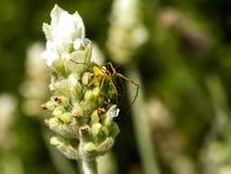 Araña del lince en la flor blanca de la lavanda Foto de archivo
