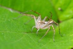 Araña del lince en la planta Imagen de archivo