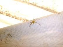 Araña del lince oxyopidae de la familia Foto de archivo libre de regalías