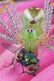 Araña del lince que come flly Imágenes de archivo libres de regalías