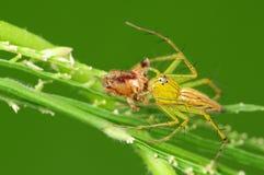 Araña del lince que come un insecto Imagen de archivo