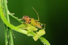 Araña del lince que come un insecto en el parque Foto de archivo