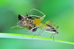 Araña del lince que come una abeja Imágenes de archivo libres de regalías