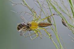 Araña del lince que come una abeja Imagen de archivo libre de regalías