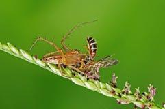 Araña del lince que come una abeja en el parque Fotografía de archivo