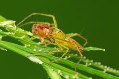 Araña del lince que come una araña legged marrón Foto de archivo
