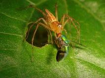 Araña del lince que come una pequeña mosca verde iridiscente Fotos de archivo libres de regalías