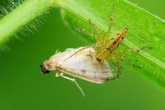 Araña del lince que come una polilla en el parque Fotografía de archivo