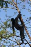 Araña del mono Fotos de archivo libres de regalías