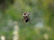Araña del orbe de Bush Imagenes de archivo