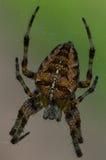 Araña del orbe del jardín Foto de archivo