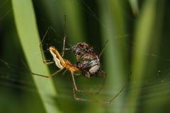 araña del Orbe-tejedor (Araneidae) Foto de archivo