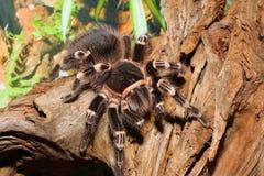Araña del pájaro foto de archivo libre de regalías