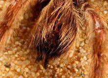 Araña del pájaro (espec. de Avicularia.) Imagen de archivo libre de regalías