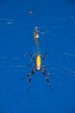 Araña del plátano Imagen de archivo