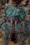 Araña del Tarantula Imágenes de archivo libres de regalías