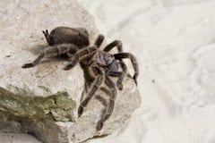 Araña del Tarantula Fotos de archivo