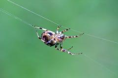Araña del tejedor del orbe Imágenes de archivo libres de regalías