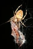Araña del tejedor del orbe con la presa Foto de archivo libre de regalías