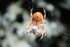 Araña del tejedor del orbe del jardín fotografía de archivo