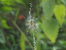 Araña del tigre en la red Fotos de archivo libres de regalías