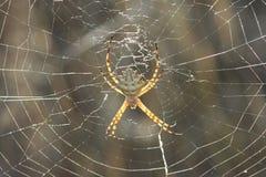 Araña del tigre (Lobata del Argiope) Imagen de archivo