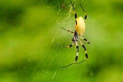 Araña del tigre y web de araña del Caribe Fotografía de archivo libre de regalías