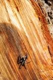 Araña en el camión cortado del árbol Fotografía de archivo libre de regalías