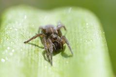 Araña en el rocío de la mañana Fotos de archivo libres de regalías