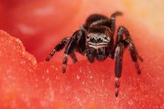 Araña en el tomate Fotos de archivo