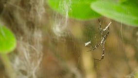 Araña en el Web metrajes
