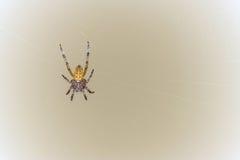 Araña en el Web Imagen de archivo