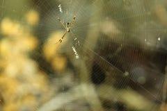 Araña en el web con el color del amarillo y del negro Imagen de archivo