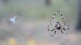 Araña en el web, diversidad del ambiente, almacen de video