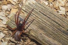 Araña en la anticipación Color de la araña de Brown, piernas largas imagen de archivo libre de regalías