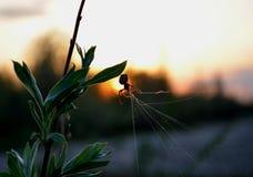 Araña en la puesta del sol Fotos de archivo
