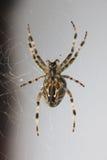 Araña en la red Fotografía de archivo