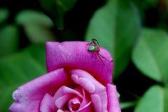 Araña en la rosa Fotografía de archivo