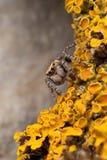Araña en los liquenes amarillos Imagenes de archivo