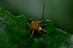Araña en macro de la planta Imagenes de archivo
