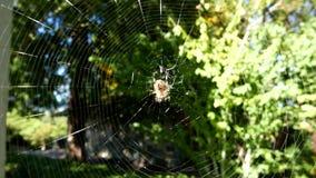 Araña en movimiento del web almacen de video