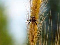 Araña en punto del trigo imagen de archivo libre de regalías