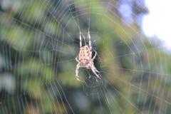 Araña en su web en la presa que espera del bosque del otoño para Foto de archivo libre de regalías