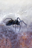 Araña en su Web (insignis del badumna) foto de archivo libre de regalías