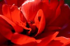 Araña en tulipán Fotos de archivo libres de regalías