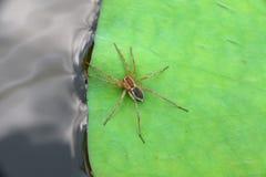 Araña en un fondo y una textura de la hoja del loto Foto de archivo